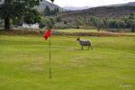 Jetzt sind wir nahe des Loch Ness, hier gibt es Schafe auf dem Golfplatz in Fort Augustus.