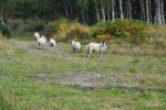 Schafe die vor uns flüchten, wir haben übrigens keinen Zaun oder dergleichen gefunden, die Schafe können also auch ins Dorf, sind dafür aber viel scheu.