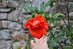 Eine Rose im Schlossgarten