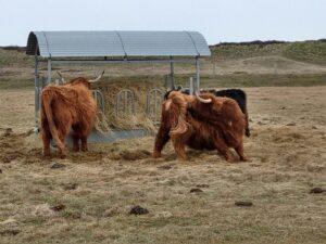 Rindviecher auf Langeoog