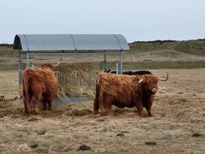 Rindviecher auf Langeoog 2