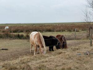 Pferde auf Langeoog, am Landschulheim der Bielefelder Osingschule