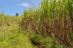 Zuckerrohrpflanzen