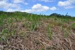 Zuckerrohrpflanzen kurz nach dem Schnitt