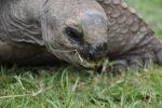Schildkröte im Safaripark beim Fressen