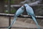 Vogel füttert anderen Vogel aus Kropf
