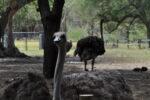 Pfauen im Safaripark