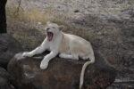 Löwin im Safaripark