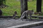 Affenbaby mit Mutter bei Ganga Talao