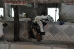 Kühe in einem der Tempel