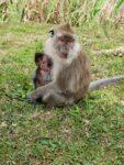 Affenbaby bei Ganga Talao