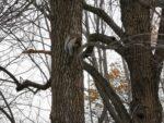 Ein Eichhörnchen im Mount Royal Park
