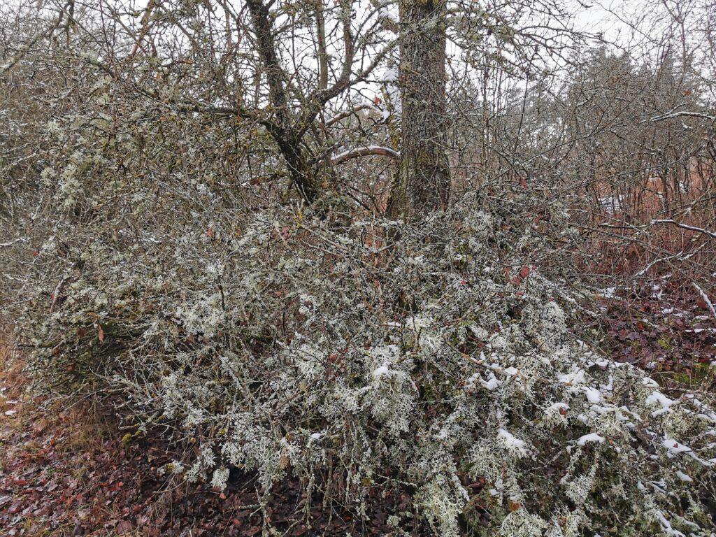 Flechten auf Baum und Strauch