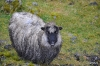 Schaf an der Straße
