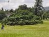 Ficus Benjamina - Ficus / Birkenfeige