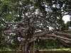 Ficus Benjamina von unten