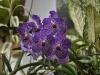 Vanda Orchiee - mit kleinem Gesicht
